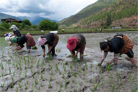 farmhand (female) - Female farmers transplanting rice shoots into rice paddies, Paro Valley, Bhutan, Asia Stock Photo - Rights-Managed, Code: 841-06341761