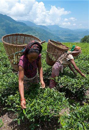 farmhand (female) - Tea plucking in the Annapurna area, Lwang. Pokhara, Nepal, Asia Stock Photo - Rights-Managed, Code: 841-06341774