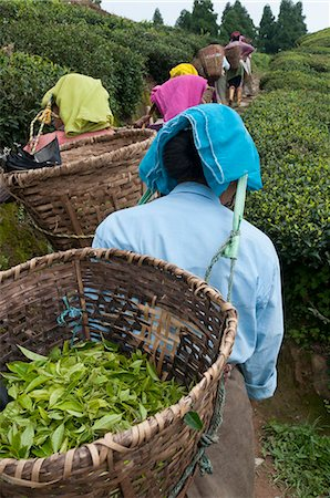 farmhand (female) - Workers carrying baskets of tea leaves, Fikkal, Nepal, Asia Stock Photo - Rights-Managed, Code: 841-06341771