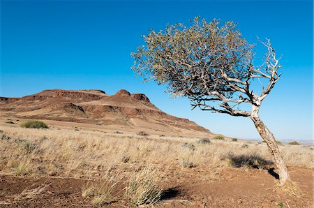 dry - Huab River Valley, Torra Conservancy, Damaraland, Namibia, Africa Stock Photo - Rights-Managed, Code: 841-06342191