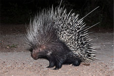 spike - Porcupine (Hystrix africaeaustralis), Limpopo, South Africa, Africa Stock Photo - Rights-Managed, Code: 841-06342368