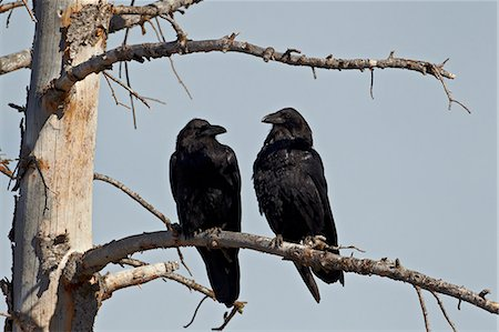 Common raven (Corvus corax) pair, Yellowstone National Park, Wyoming, United States of America, North America Stock Photo - Rights-Managed, Code: 841-06342468