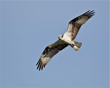 flying bird - Osprey (Pandion haliaetus) in flight, Lemhi County, Idaho, United States of America, North America Stock Photo - Rights-Managed, Code: 841-06342551