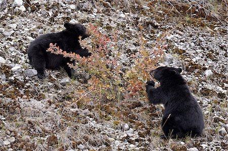 Black bear (Ursus americanus) cubs eating Canadian gooseberry berries, Jasper National Park, Alberta, Canada, North America Stock Photo - Rights-Managed, Code: 841-06342610