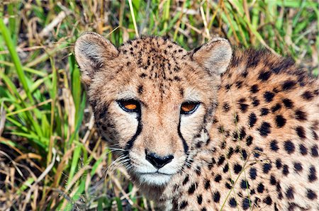pictures cats - Cheetah, (Acinonyx jubatus), Namibia, Africa Stock Photo - Rights-Managed, Code: 841-06342761