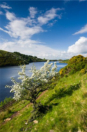 dartmoor national park - Hawthorn tree in blossom, Meldon Reservoir, Dartmoor National Park, Devon, England, United Kingdom, Europe Stock Photo - Rights-Managed, Code: 841-06343383