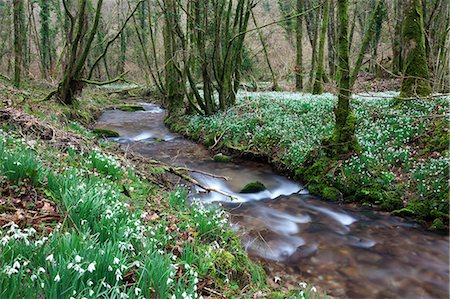 Snowdrops (Galanthus) flowering in North Hawkwell Wood, also known as Snowdrop Valley, Exmoor National Park, Somerset, England, United Kingdom, Europe Stock Photo - Rights-Managed, Code: 841-06343587