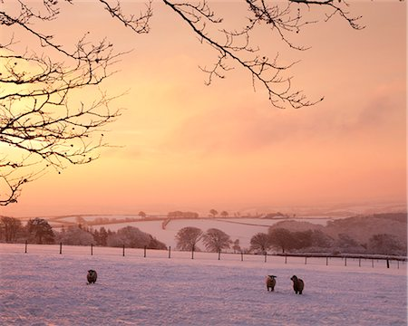 snow - Sheep graze in a snow covered field beneath a fiery dawn sky, Exmoor, Somerset, England, United Kingdom, Europe Stock Photo - Rights-Managed, Code: 841-06343624
