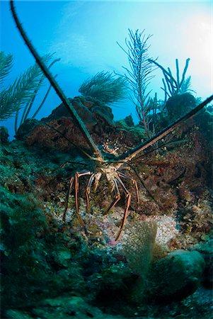 Spiny lobsters, Roatan, Bay Islands, Honduras, Caribbean, Central America Stock Photo - Rights-Managed, Code: 841-06444928
