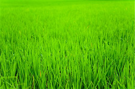 framed (photographic border showing) - Rice paddy field close up in Ubud, Bali, Indonesia, Southeast Asia, Asia Stock Photo - Rights-Managed, Code: 841-06445050