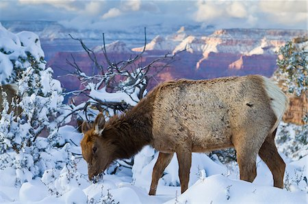 Elk (Cervus canadensis) (wapiti), South Rim, Grand Canyon National Park, UNESCO World Heritage Site, Arizona, United States of America, North America Stock Photo - Rights-Managed, Code: 841-06445425