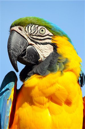 Blue and yellow macaw (blue and gold macaw) (Ara ararauna) in captivity, United Kingdom, Europe Stock Photo - Rights-Managed, Code: 841-06445907