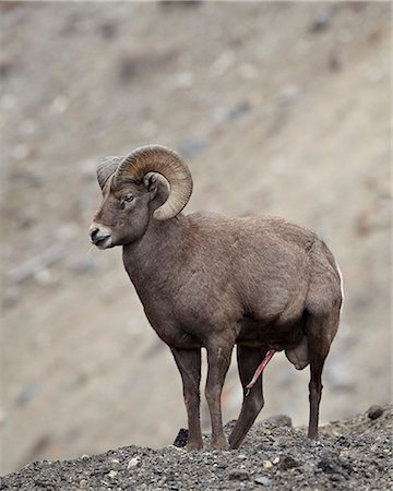 Bighorn sheep (Ovis canadensis) ram with an erection during the rut, Clear Creek County, Colorado, United States of America, North America Stock Photo - Rights-Managed, Code: 841-06446759