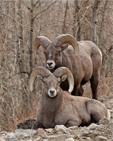 ram (animal) - Two bighorn sheep (Ovis canadensis) rams during the rut, Clear Creek County, Colorado, United States of America, North America Stock Photo - Rights-Managed, Code: 841-06446767
