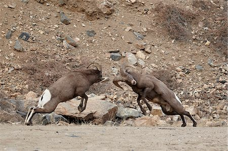 domestic sheep - Two bighorn sheep (Ovis canadensis) rams butting heads during the rut, Clear Creek County, Colorado, United States of America, North America Stock Photo - Rights-Managed, Code: 841-06446762