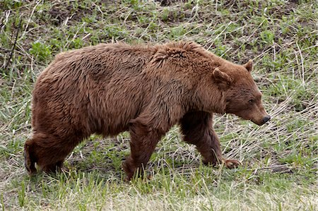 Cinnamon-colored black bear (Ursus americanus) walking, Yellowstone National Park, Wyoming, United States of America, North America Stock Photo - Rights-Managed, Code: 841-06446825