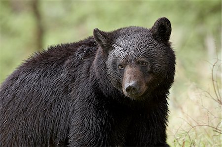 Black bear (Ursus americanus), Yellowstone National Park, Wyoming, United States of America, North America Stock Photo - Rights-Managed, Code: 841-06446830