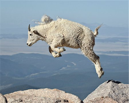 Mountain goat (Oreamnos americanus) yearling jumping, Mount Evans, Arapaho-Roosevelt National Forest, Colorado, United States of America, North America Foto de stock - Con derechos protegidos, Código: 841-06446845