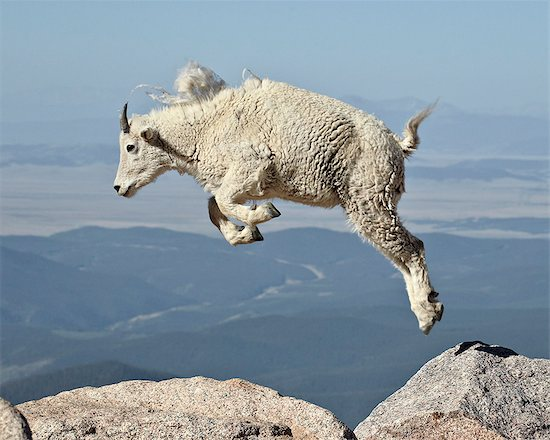 Mountain goat (Oreamnos americanus) yearling jumping, Mount Evans, Arapaho-Roosevelt National Forest, Colorado, United States of America, North America Stock Photo - Premium Rights-Managed, Artist: robertharding, Image code: 841-06446845