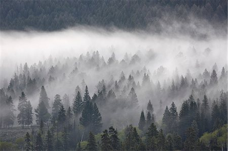 Fog mingling with evergreen trees, Yellowstone National Park, UNESCO World Heritage Site, Wyoming, United States of America, North America Stock Photo - Rights-Managed, Code: 841-06446866