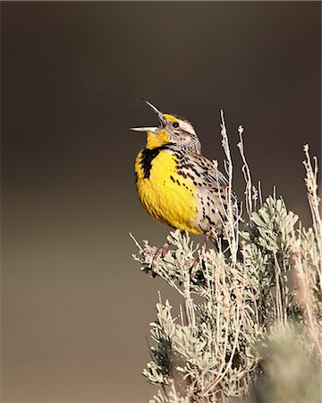 Western meadowlark (Sturnella neglecta) singing, Yellowstone National Park, Wyoming, United States of America, North America Stock Photo - Rights-Managed, Code: 841-06446872
