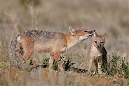 Swift fox (Vulpes velox) vixen grooming a kit, Pawnee National Grassland, Colorado, United States of America, North America Stock Photo - Rights-Managed, Code: 841-06446886