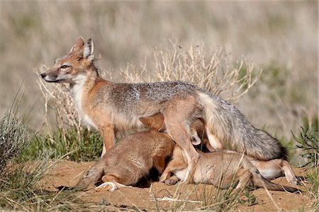 four - Swift fox (Vulpes velox) vixen nursing her four kits at their den, Pawnee National Grassland, Colorado, United States of America, North America Stock Photo - Rights-Managed, Code: 841-06446888