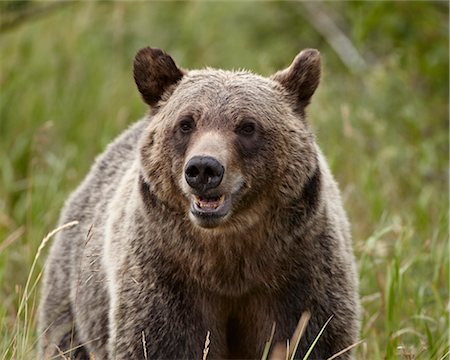 Grizzly bear (Ursus arctos horribilis), Glacier National Park, Montana, United States of America, North America Stock Photo - Rights-Managed, Code: 841-06446926