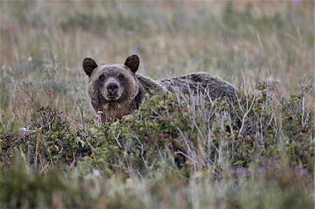 Grizzly bear (Ursus arctos horribilis), Glacier National Park, Montana, United States of America, North America Stock Photo - Rights-Managed, Code: 841-06446920