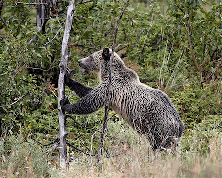 Grizzly bear (Ursus arctos horribilis) pushing over a dead tree, Glacier National Park, Montana, United States of America, North America Stock Photo - Rights-Managed, Code: 841-06446922