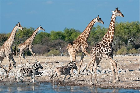 Giraffe (Giraffa camelopardis) and zebras (Equus burchelli) moving away from a waterhole, Etosha National Park, Namibia, Africa Stock Photo - Rights-Managed, Code: 841-06448664