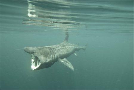 dreamy - Basking shark (Cetorhinus maximus) feeding on plankton, Inner Hebrides, Scotland, United Kingdom, Europe Stock Photo - Rights-Managed, Code: 841-06449937