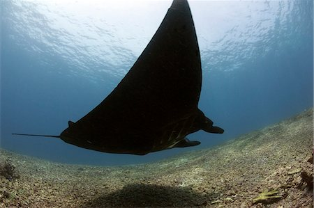 Manta ray over rubble reef, Komodo, Indonesia, Southeast Asia, Asia Stock Photo - Rights-Managed, Code: 841-06499331