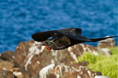 fly - Adult male magnificent frigatebird (Fregata magnificens), Las Bachas, Santa Cruz Island, Galapagos Islands, Ecuador, South America Stock Photo - Rights-Managed, Code: 841-06499391
