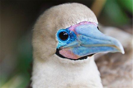 Adult dark morph red-footed booby (Sula sula), Genovesa Island, Galapagos Islands, Ecuador, South America Stock Photo - Rights-Managed, Code: 841-06499475