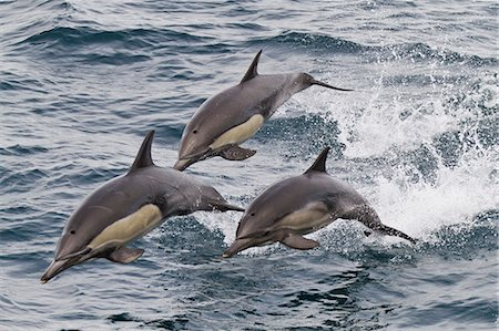 Long-beaked common dolphin (Delphinus capensis), Isla San Esteban, Gulf of California (Sea of Cortez), Baja California, Mexico, North America Stock Photo - Rights-Managed, Code: 841-06499524
