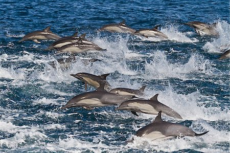 Long-beaked common dolphin (Delphinus capensis) pod, Isla San Esteban, Gulf of California (Sea of Cortez), Baja California, Mexico, North America Stock Photo - Rights-Managed, Code: 841-06499529
