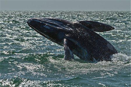 California gray whale (Eschrichtius robustus) calf breaching, San Ignacio Lagoon, Baja California Sur, Mexico, North America Stock Photo - Rights-Managed, Code: 841-06499547