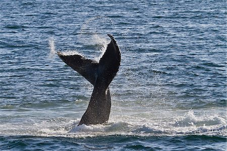 Humpback whale (Megaptera novaeangliae) tail slap, Gulf of California (Sea of Cortez), Baja California Sur, Mexico, North America Stock Photo - Rights-Managed, Code: 841-06499586