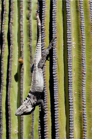 San Esteban spiny-tailed iguana (Ctenosaura conspicuosa) on cardon cactus, Isla San Esteban, Gulf of California (Sea of Cortez), Baja California, Mexico, North America Stock Photo - Rights-Managed, Code: 841-06499604