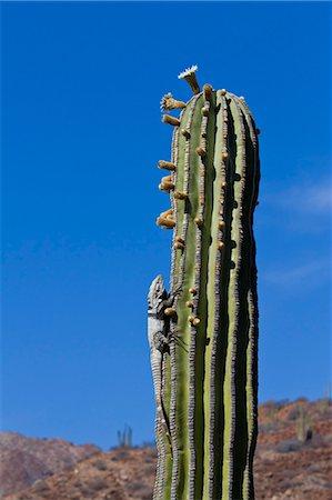 San Esteban spiny-tailed iguana (Ctenosaura conspicuosa) on cardon cactus, Isla San Esteban, Gulf of California (Sea of Cortez), Baja California, Mexico, North America Stock Photo - Rights-Managed, Code: 841-06499601