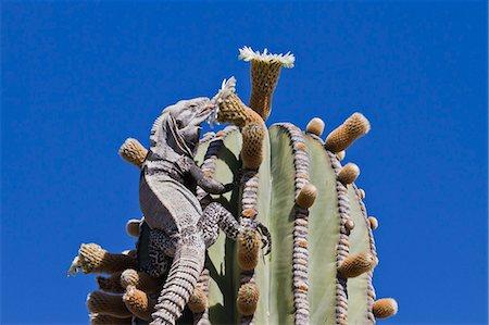 San Esteban spiny-tailed iguana (Ctenosaura conspicuosa) on cardon cactus, Isla San Esteban, Gulf of California (Sea of Cortez), Baja California, Mexico, North America Stock Photo - Rights-Managed, Code: 841-06499602
