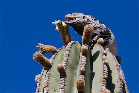 San Esteban spiny-tailed iguana (Ctenosaura conspicuosa) on cardon cactus, Isla San Esteban, Gulf of California (Sea of Cortez), Baja California, Mexico, North America Stock Photo - Rights-Managed, Code: 841-06499603
