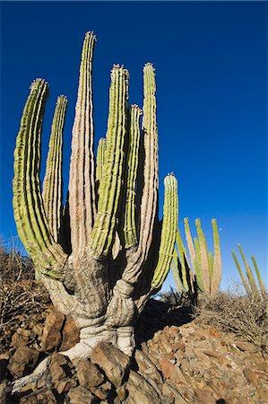 Cardon cactus (Pachycereus pringlei), Isla Catalina, Gulf of California (Sea of Cortez), Baja California, Mexico, North America Stock Photo - Rights-Managed, Code: 841-06499617