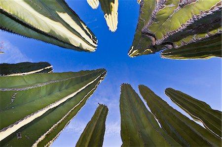 Cardon cactus (Pachycereus pringlei), Isla Catalina, Gulf of California (Sea of Cortez), Baja California, Mexico, North America Stock Photo - Rights-Managed, Code: 841-06499619