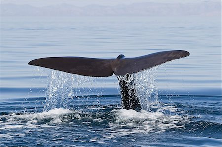 Sperm whale (Physeter macrocephalus) flukes up dive, Isla San Pedro Martir, Gulf of California (Sea of Cortez), Baja California Norte, Mexico, North America Stock Photo - Rights-Managed, Code: 841-06499637