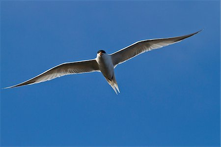 flying bird - Elegant tern (Thalasseus elegans) in flight, Isla Rasa, Gulf of California (Sea of Cortez), Baja California, Mexico, North America Stock Photo - Rights-Managed, Code: 841-06499653
