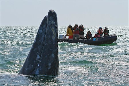 California gray whale (Eschrichtius robustus) and excited whale watchers, San Ignacio Lagoon, Baja California Sur, Mexico, North America Stock Photo - Rights-Managed, Code: 841-06499675