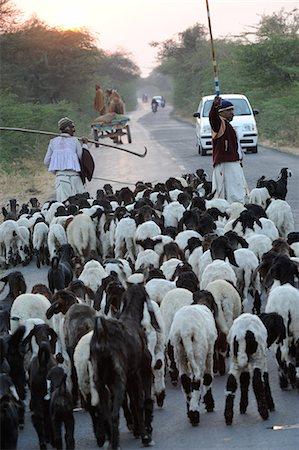 farming (raising livestock) - Shepherd herding his sheep, Gujarat, India, Asia Stock Photo - Rights-Managed, Code: 841-06499781