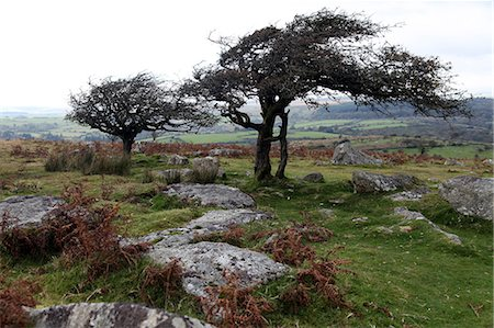 dartmoor national park - Two windswept trees, near Hexworthy, Dartmoor, Devon, England, United Kingdom, Europe Stock Photo - Rights-Managed, Code: 841-06499874